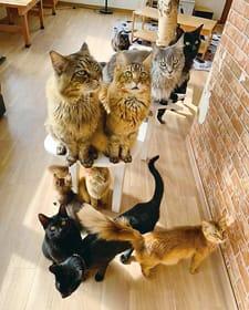 メインクーンやソマリといった長毛で大きいネコを中心とした17匹がお出迎え