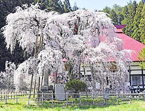 〔ふくしま・さくらだより〕永泉寺 咲き誇る三春滝桜の姉妹樹