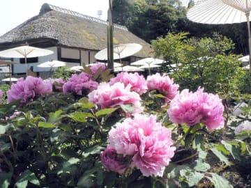 茂原市内の茂原牡丹園で早咲き種が開花。紫や白、ピンクのあでやかな大輪の花々が来園者を魅了している。