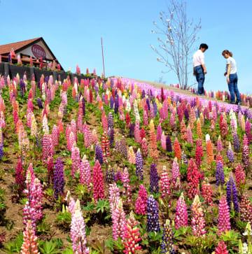 ベリーズカフェ近くのフラワーガーデンに咲き競うルピナス