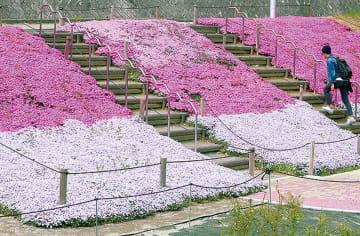 万福寺さとやま公園 芝桜が見ごろ