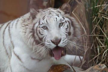 池田動物園に仲間入りしたホワイトタイガーのサン
