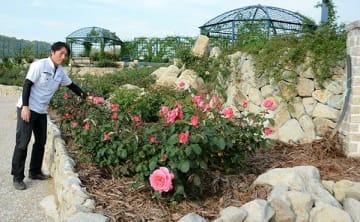 小児性水俣病患者の前田恵美子さんが好きだったピンクのバラ=水俣市のエコパーク水俣バラ園