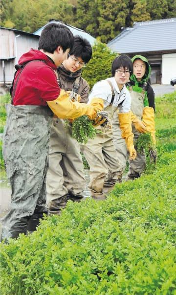 観音寺セリの収穫体験をする参加者