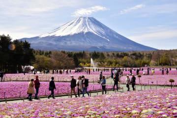山梨県富士河口湖町の富士本栖湖リゾートで見頃を迎えたシバザクラと富士山=28日