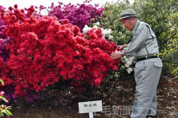 つつじが岡公園のツツジ「御成婚」を世話する樹木医の熊倉弘さん