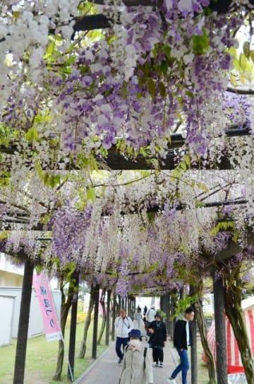 八分咲きとなった花の下を歩く人たち