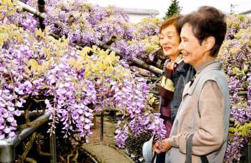 宝寿園で、薄紫色のフジを楽しむ来場者