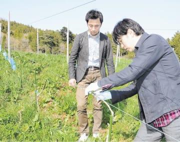ブドウの生育状況を確かめる佐々木さん(左)と正司さん