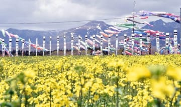 咲き始めたばかりの菜の花とこいのぼりの競演=2日午前11時20分、那須町大島