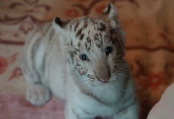 宇都宮動物園で生まれたホワイトタイガーの赤ちゃん「グーナ」