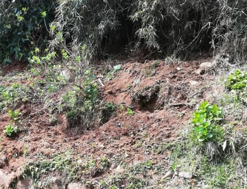 イノシシが穴を掘ったとみられる線路脇の斜面(箱根登山鉄道提供)