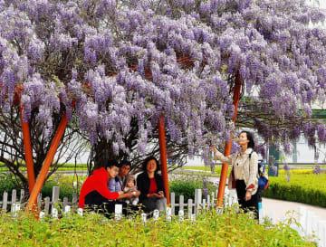 藤の花の香り漂う 山東省膠州市