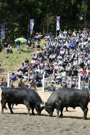 多くの観衆が見守った「牛の角突き」初場所=3日、小千谷市