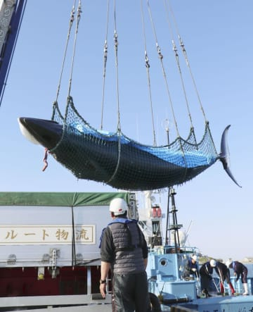 水揚げされるミンククジラ=4日午後、青森県八戸市の八戸港