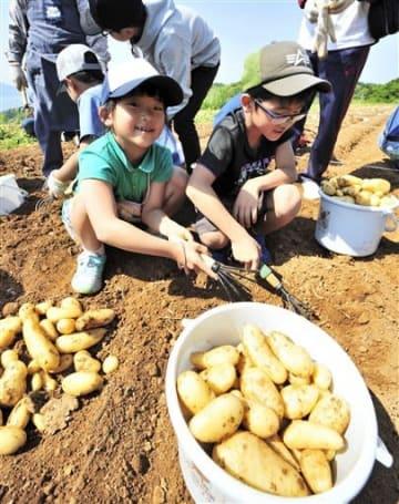 ジャガイモをバケツいっぱいに収穫する子どもたち=天草市