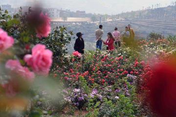花の海が観光客を魅了 雲南省富源県