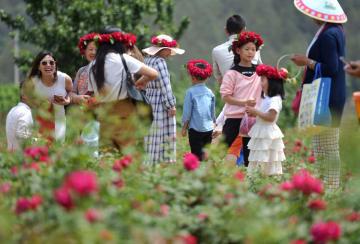 見て摘んで食べて楽しむ バラが満開 雲南省安寧市