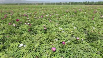 花で切り開く豊かさへの道 陝西省宝鶏市鳳翔県