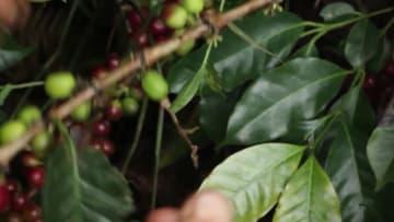 エルサルバドルのコーヒー、中国市場進出に期待