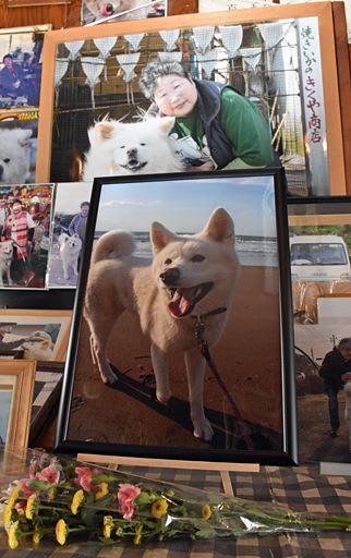 わさおや亡くなった菊谷節子さんの写真とともに飾られたつばきの遺影(工藤健さん撮影)=6日午後4時ごろ、鯵ケ沢町の七里長浜きくや商店内