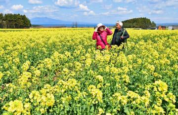 開花宣言が出た横浜町の菜の花畑を散策する観光客=7日