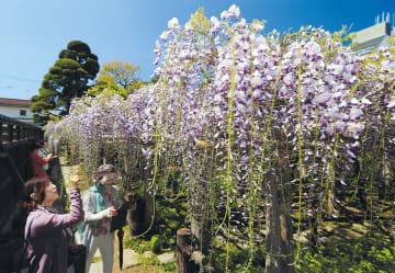 鮮やかに咲き誇る藤を眺める人たち=8日午前10時10分ごろ、仙台市青葉区子平町