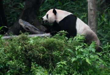 大陸から来たパンダ、来園10周年 2千万人が観覧 台湾