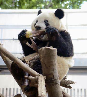 タケノコを食べるシャンシャン=7日、東京・上野動物園(東京動物園協会提供)