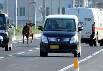牛1頭が家畜運搬車両から逃げ出し、県道を歩いたり走ったりした=河北町(画像の一部を加工しています)