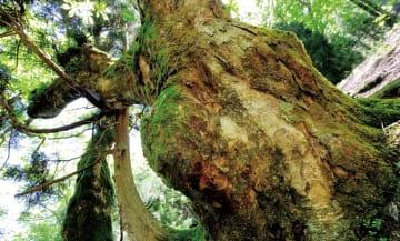トチノキ 樹齢400年以上ともいわれるトチノキの巨木。県内には直径が8mにもなるトチノキも確認されている。朽木では古くから栃の実が貴重な食料として利用されており、豊富な実をつける巨木は伐採をまぬがれてきたようだ。