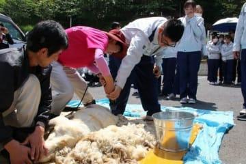 横になった羊の毛をバリカンで刈る生徒