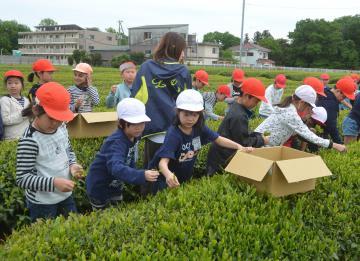 茶摘み体験をする児童たち=坂東市岩井