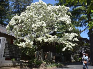 雪が覆ったように咲き誇る「なんじゃもんじゃ」の木=下妻市大宝