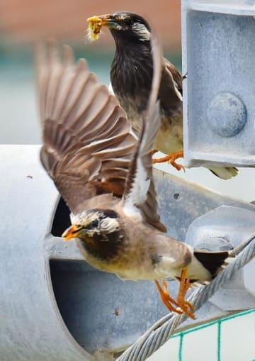 巣に餌を運ぶムクドリのつがい=9日午後、糸満市潮崎町(金城健太撮影)