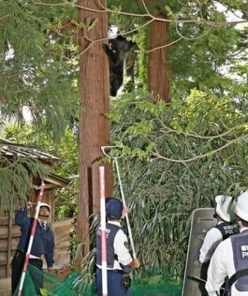 上越市の市街地に現れ、木の上に登ったクマ。警察官らが警戒に当たる=9日午後0時半すぎ、同市西城町3