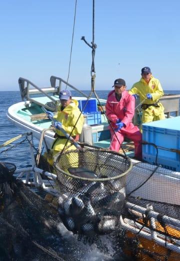 津軽海峡のいけすから水揚げされる海峡サーモン=10日、むつ市大畑町