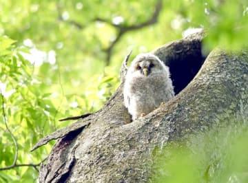 巣立ちを控えて洞から様子をうかがうフクロウ=11日午前9時10分、野木町野木