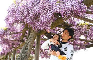 会場の藤島体育館周辺ではフジの花が咲き誇っている=鶴岡市
