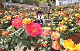 庭園で色鮮やかに咲き誇るバラ=西宮市甲陽園西山町