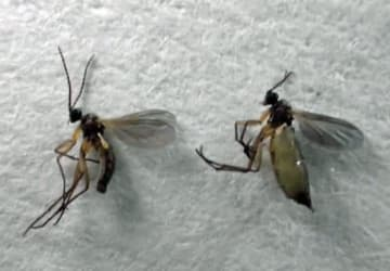 ネギネクロバネキノコバエの成虫。左が雄で右が雌=県農業技術センター提供