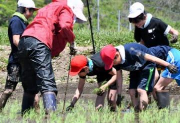 泥だらけになりながら笑顔でもち米の苗を植える児童