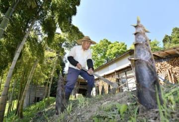 青空の下、タケノコ収穫に励む今野昭五さん=13日、平泉町長島