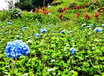 初日から多くの来園者がアジサイを楽しんだ=11日、本部町伊豆味・よへなあじさい園