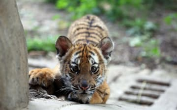 かわいい華南トラの赤ちゃんがお披露目 河南省洛陽市