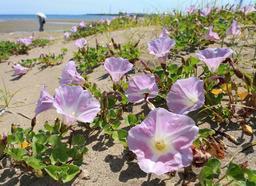 砂浜で見頃を迎えたハマヒルガオ=15日午後、姫路市白浜町