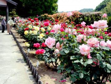見頃の多彩なバラが並んだかわら館のバラまつり