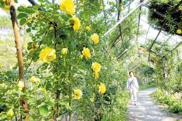 全体の5割ほどが開花している「バラの小径(こみち)」=川島町下八ツ林の川島平成の森公園