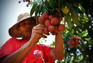海口の果樹農家、ライチ摘み取りのギネス世界記録を樹立