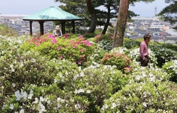糸魚川の街並みや日本海を背景に約3500株のツツジが咲く月華山かねこつつじ園=糸魚川市一ノ宮